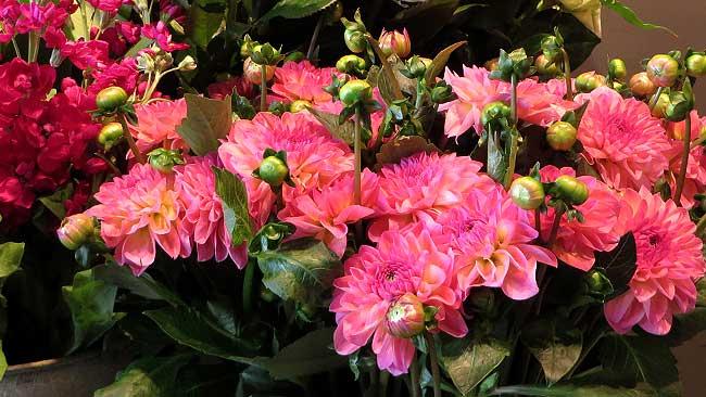Dahlia's van Bloomies