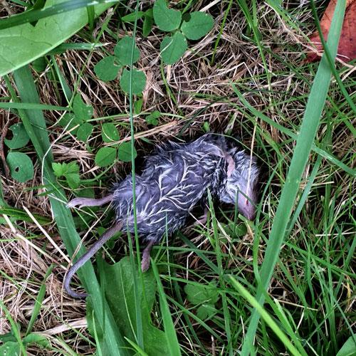 Verzopen muis op grasveld