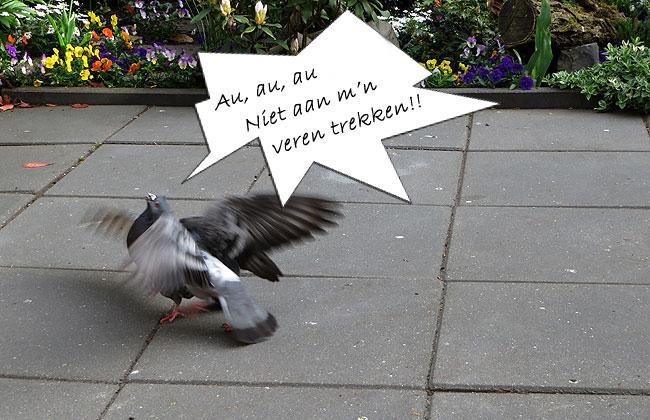 De duiven vechten alsof het een lieve lust is