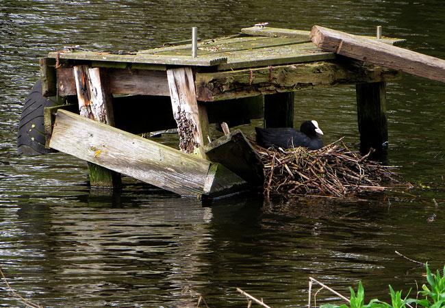 Meerkoet op nest langs de waterkant
