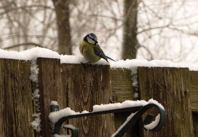 Pimpelmees bezoekt de sneeuwtuin
