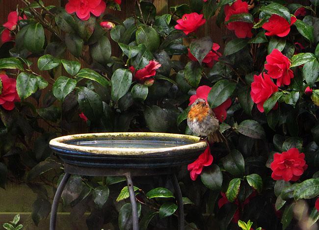 Roodborst vormt bij het vogelbadje een kleurrijk plaatje met de bloeiende camelia
