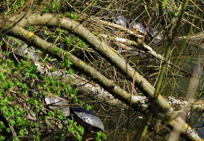 Moerasschildpadden/waterschildpadden van groot tot klein langs Ruige Riet Sloterpark - roodwangschildpadden en geelwangschildpadden