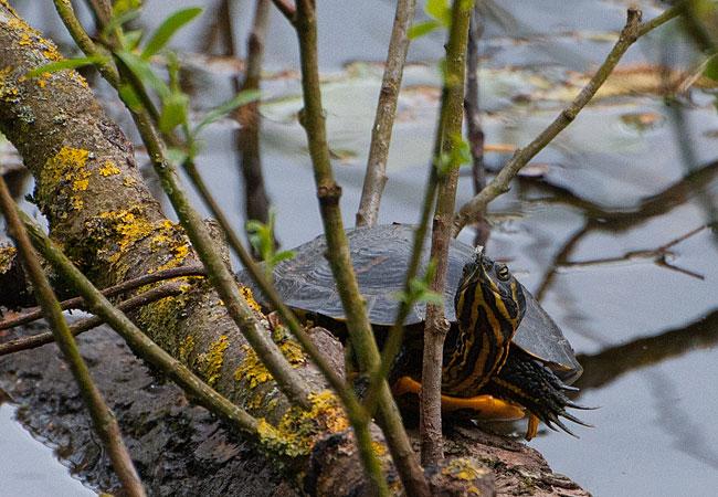 Moerasschildpad/waterschildpad langs Ruige Riet Sloterpark