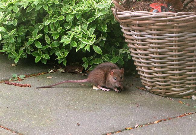Theo de rat op bezoek in de tuin