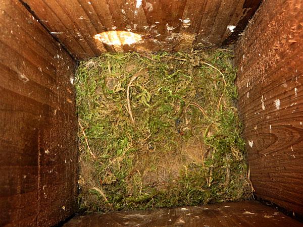 17 mei: en nu is ook het laatste meesje uitgevlogen. Het nest is leeg.