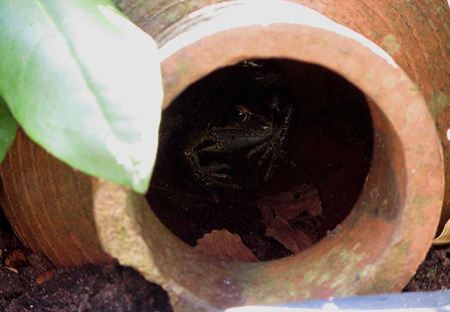 Kikker vindt schuilplaats in de vaas naast de minivijver