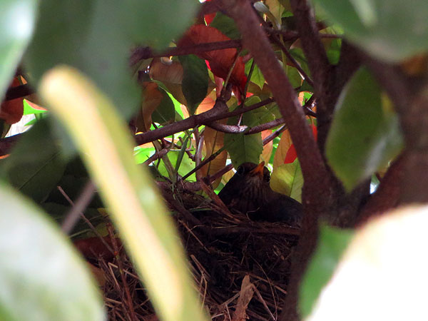 Merel op het nest