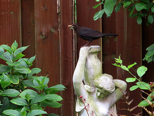 Moeder merel in de tuin op weg om haar jongen te voeden