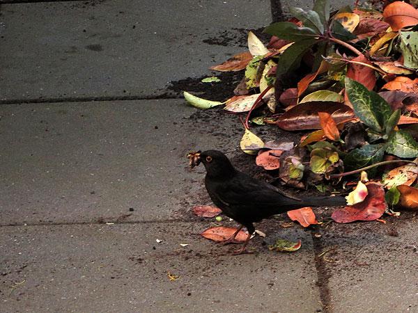 Pa merel liep langs de hoop bladeren met een bek vol voeding naar de boom