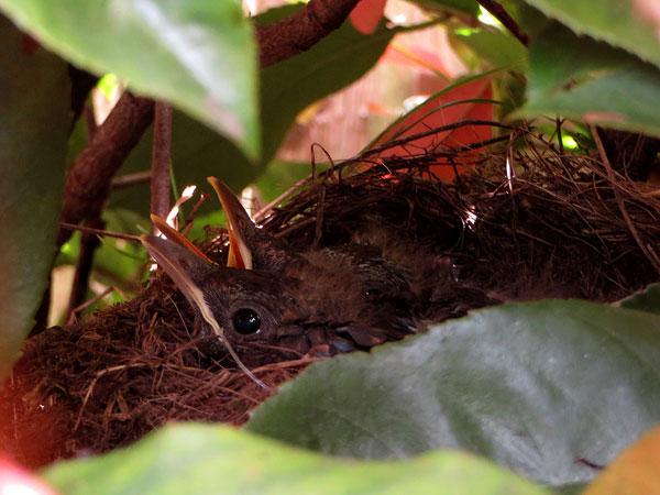 De jonge merels knus in het nest. Muisstil.