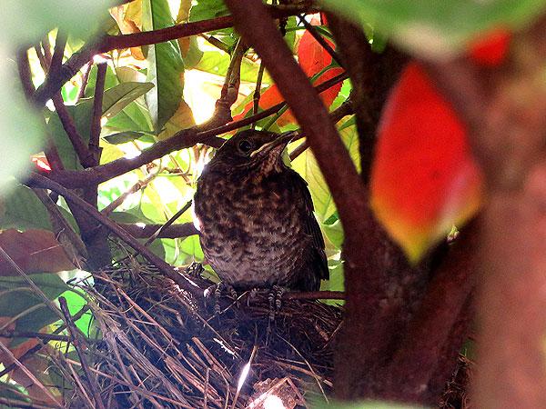 Een van de jonge mereltjes staat op het nest
