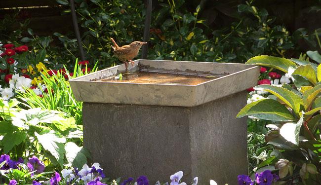 Het winterkoninkje neemt een verfrissend lentebad