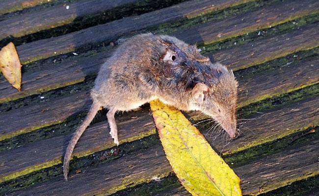Dode spitsmuis met oorlogswond.