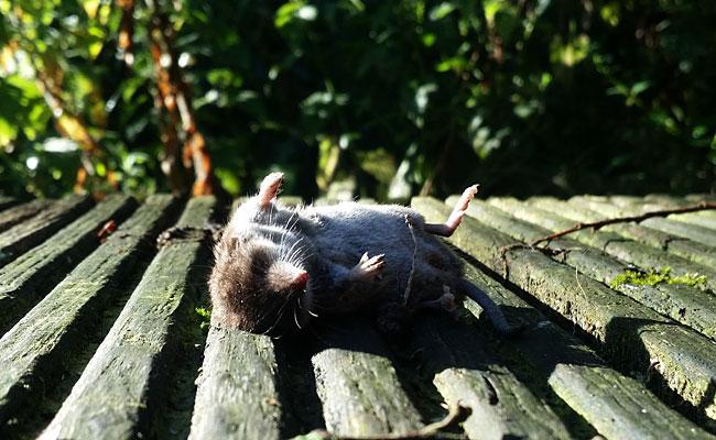Spitsmuis dood in het zonnetje.