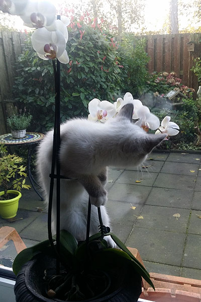 Kitten Disney hangt in orchidee