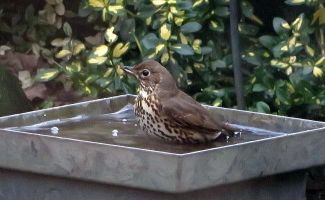 Zanglijster bezoekt vogelbadje in de tuin