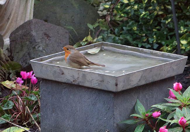 Roodborstje neemt een bad