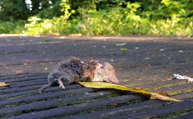 En nóg een dode spitsmuis