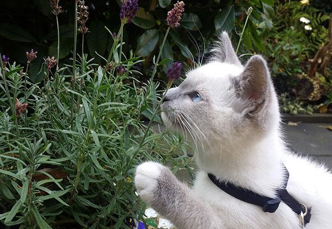 Kitten Disney snuffelt aan lavendel