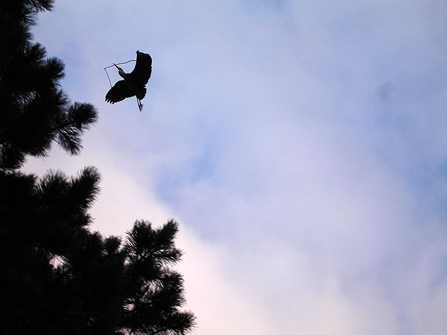 Reiger druk in de weer met opknappen nest
