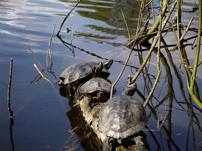 Vier roodwangschildpadden op een rij in Heemtuin Sloterpark, The Teenage Mutant Ninja Turtles