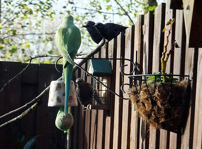 Halsbandparkiet observeert spreeuwen