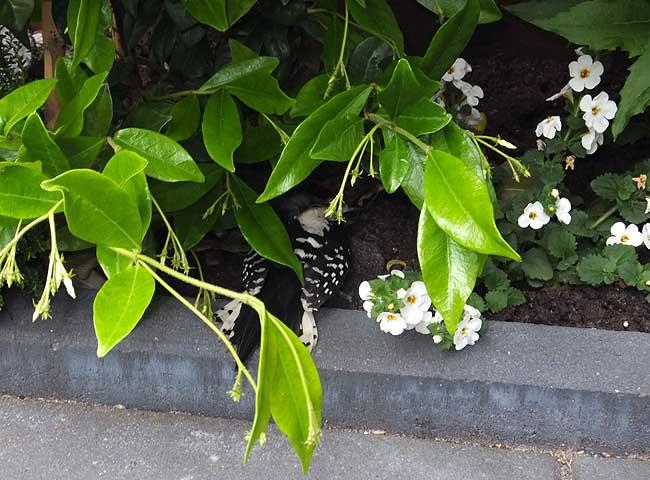 Raamslachtoffer: jonge specht ligt knock-out onder de jasmijn.