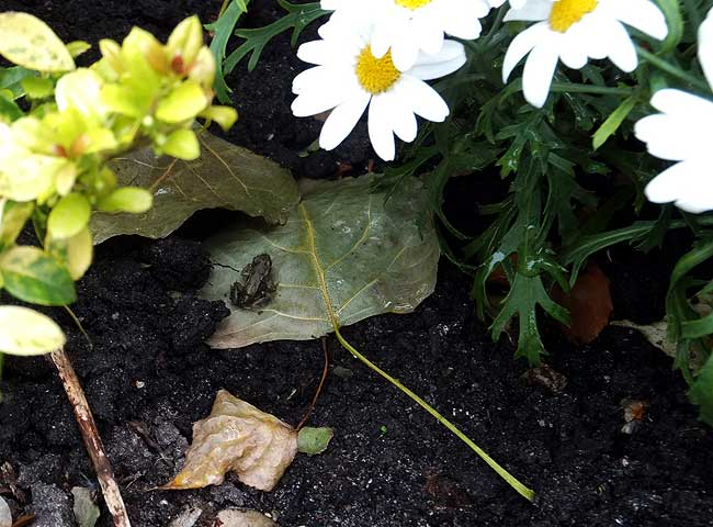 De miniatuur kikker nam plaats op een blad
