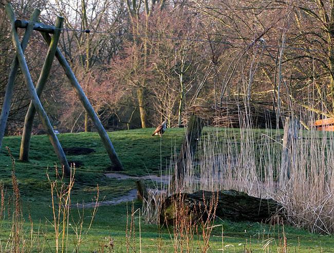Buizerd houdt toezicht in natuurspeeltuin De Natureluur