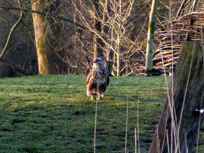 Buizerd houdt toezicht in natuurspeeltuin De Natureluur - Hij is behoorlijk streng...
