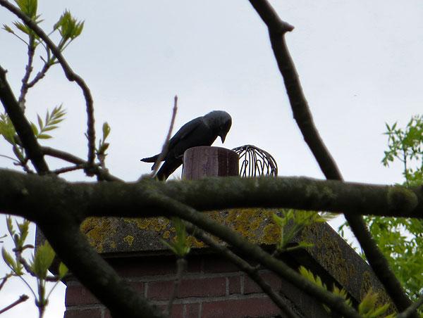 De kauwen zijn druk bezig een nest te maken in de schoorsteen