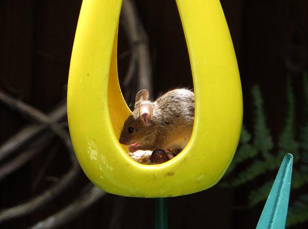 Muis eet zijn buikje vol in de voedertulp (gehakte zonnebloempitten)