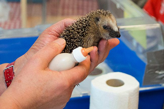 Het jonge egeltje had wel trek in een slokje flesvoeding.
