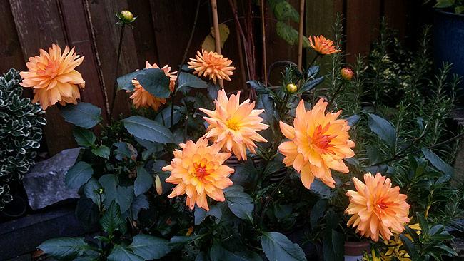 Oranje dahlia in de tuin