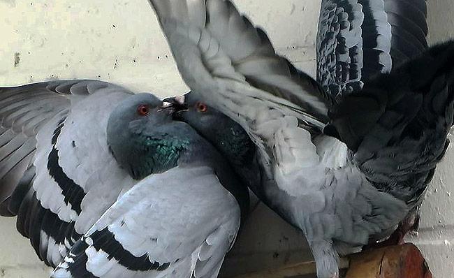 Herrieschoppers, die duiven!