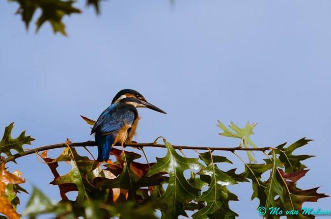 IJsvogel in het Sloterpark - Mo van Mokum