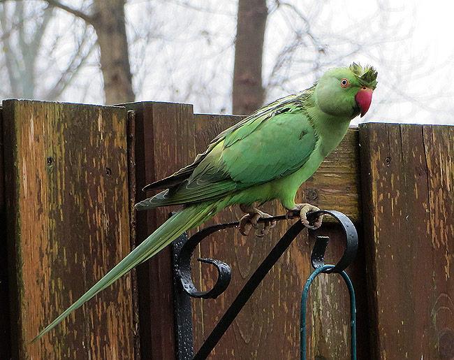 De kuif van mevrouw halsbandparkiet (miss parakeet) doet me denken aan...
