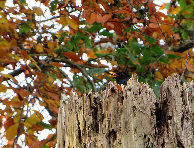 Merel met herfstkleuren op de, bij merels, populaire dode boom naast de Heemtuin