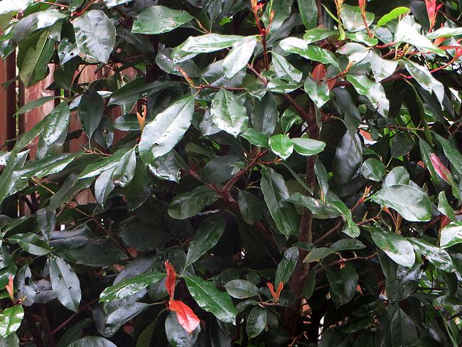 Mijn boom, de glansmispel (Photinia fraseri 'Red Robin') lijkt zomaar opeens te bewegen...