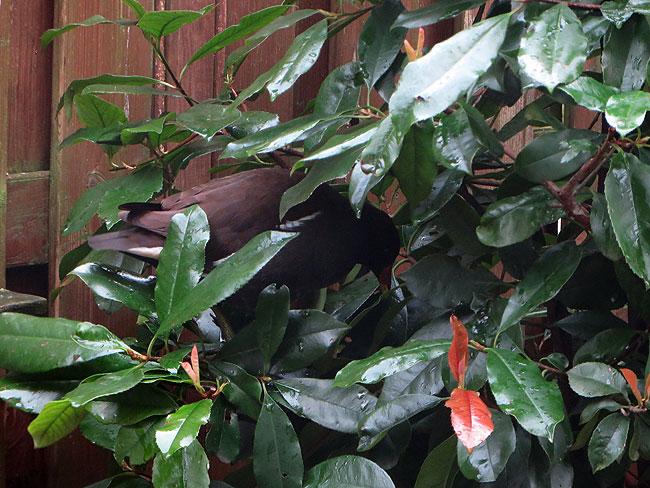 Waterhoen gaat weer op z'n gemakje verder de boom in / Moorhen in tree