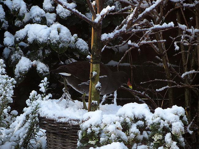 Een waterhoen in de sneeuwtuin