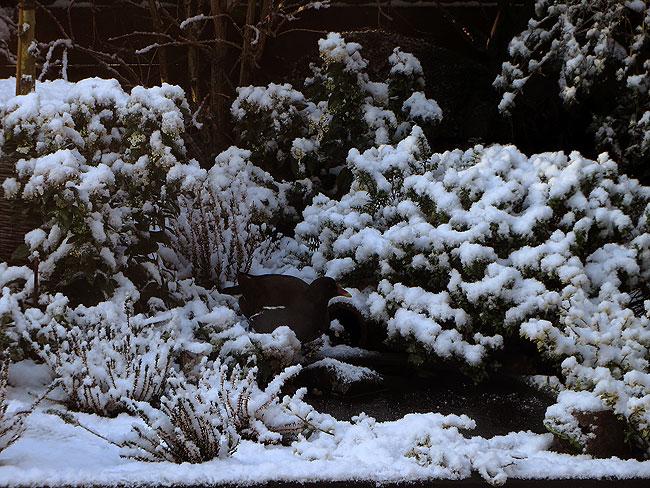 Waterhoen wandelt in sneeuwtuin over de half bevroren minivijver
