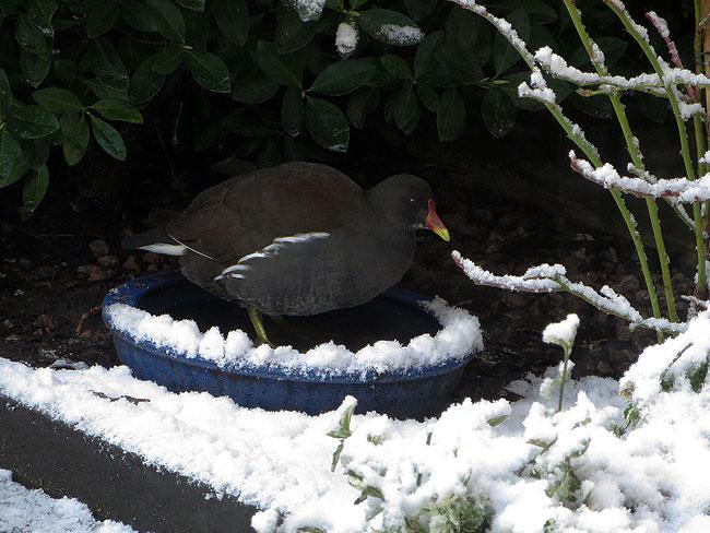 Waterhoen bezoekt het blauwe drinkbakje in de sneeuwtuin