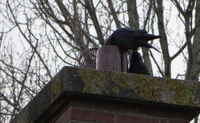 De kauwen van hiernaast hebben alweer duidelijk zin in de lente. De schoorsteen wordt alvast voorbereid...