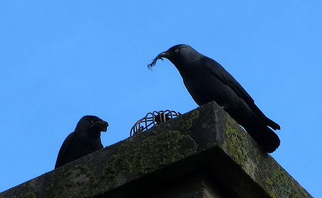 De kauwen van hiernaast vullen hun schoorsteen met nestmateriaal