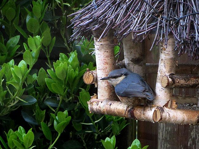 Boomklever in voederhuisje in de tuin