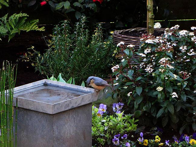 Boomklever drinkt water uit waterbakje in de tuin