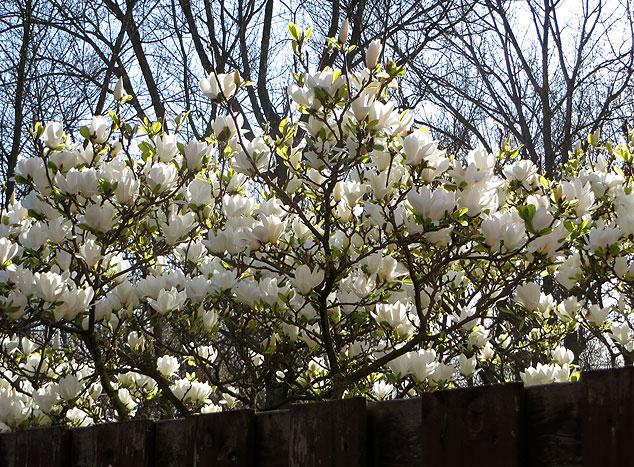 Groenling raamslachtoffer - groenling vloog de prachtige magnoliaboom van de buren in.