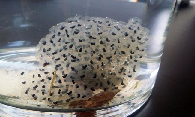 Kikkerdril: de zwarte bolletjes veranderen